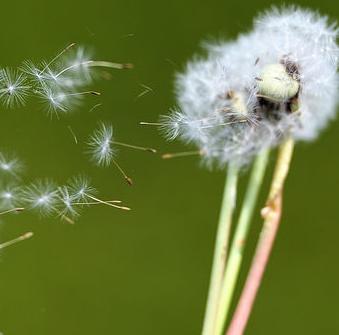 Le risque allergique aux pollens s'étend ce week-end