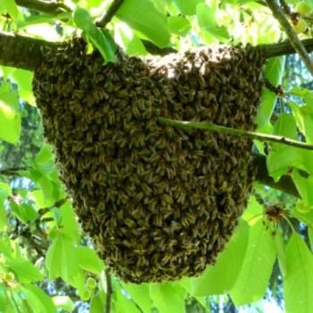 Les abeilles au printemps : l'essaimage