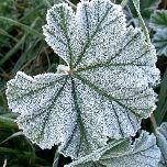 Suivi et prévision du risque de gelée cette semaine