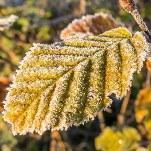 L'automne s'affirme et les gelées s'étendent