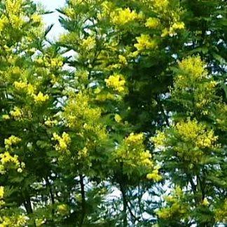 Soleil & douceur en Méditerranée : mimosa en fleurs et pollens