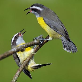 Les oiseaux anticiperaient l'arrivée des tornades