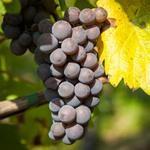 Production viticole française en baisse à cause de la météo