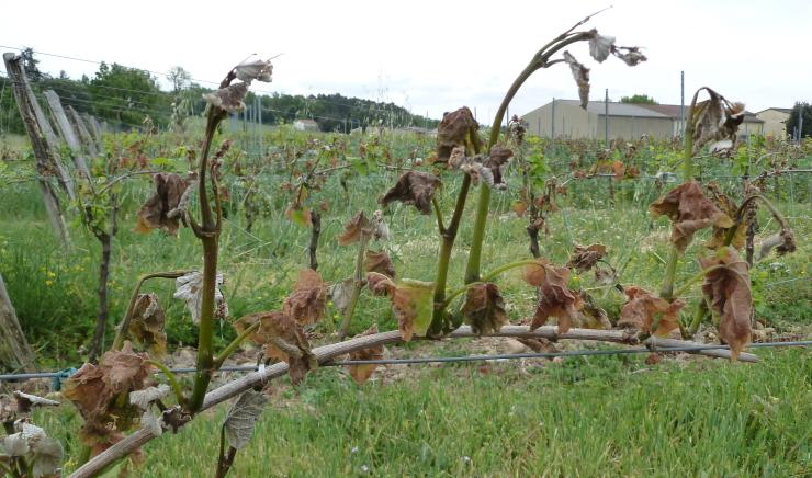 Image d'illustration pour Gelées de printemps : une vraie menace pour la végétation