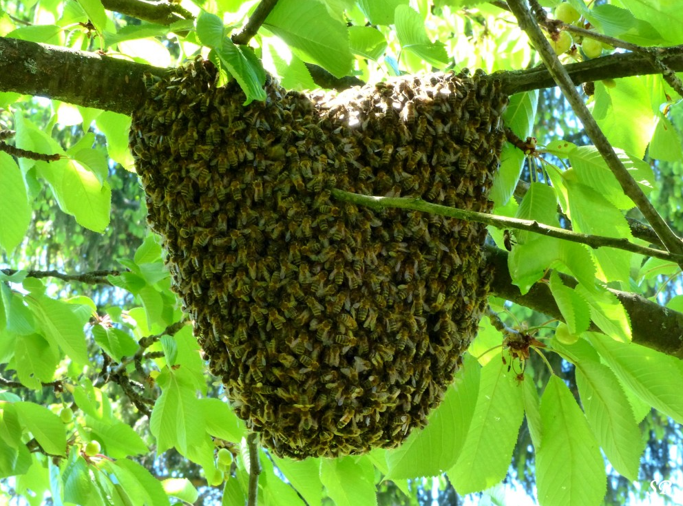Image d'illustration pour Les abeilles au printemps : l'essaimage
