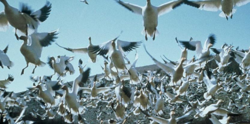 Image d'illustration pour Migration : les oiseaux attendent des vents favorables