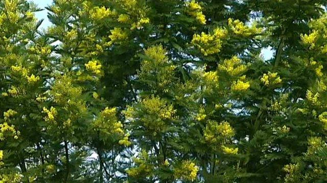 Image d'illustration pour Soleil & douceur en Méditerranée : mimosa en fleurs et pollens