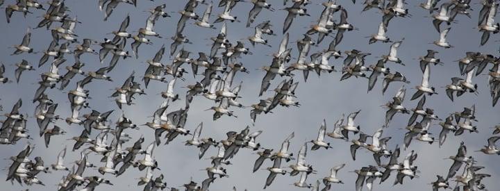Image d'illustration pour EuroBirdWatch : observez la migration des oiseaux ce week-end