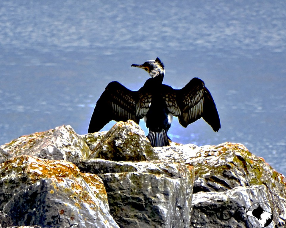 cormoran lac du Bourget