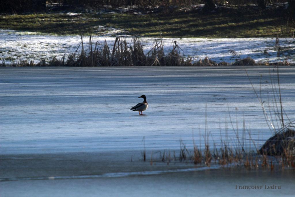 Canard sur étang gelé