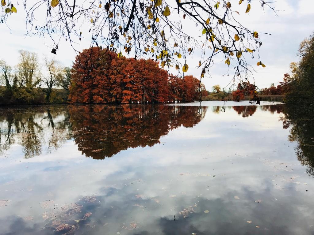 les cyprès chauve en automne