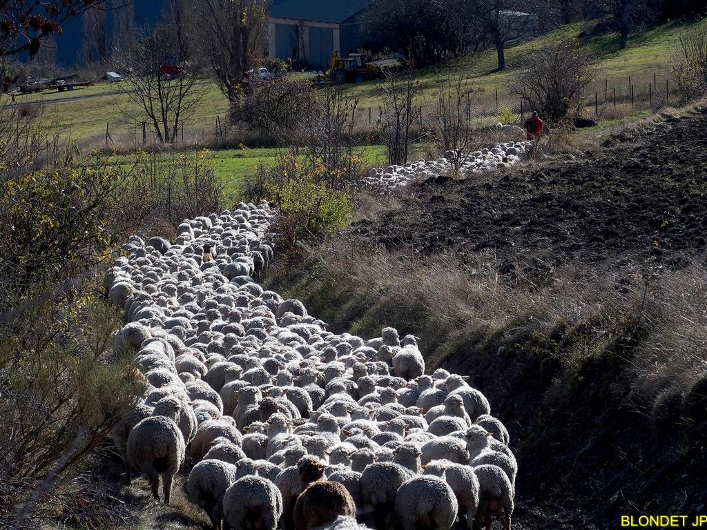 Moutons au col de la Selle