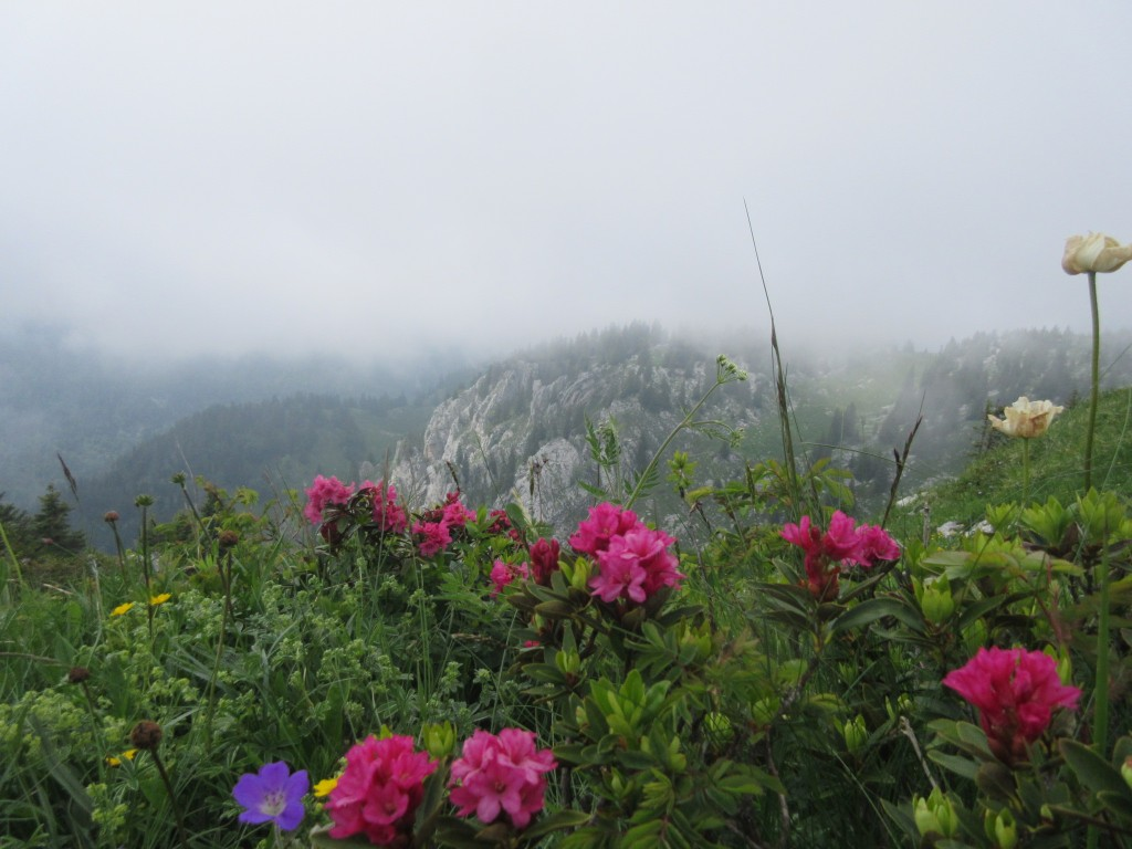 rhododendron sur Charmant Som