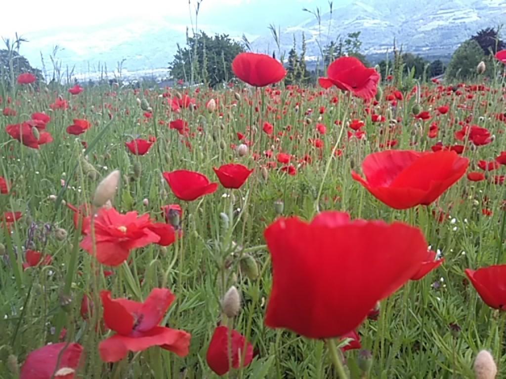 Champs fleuri