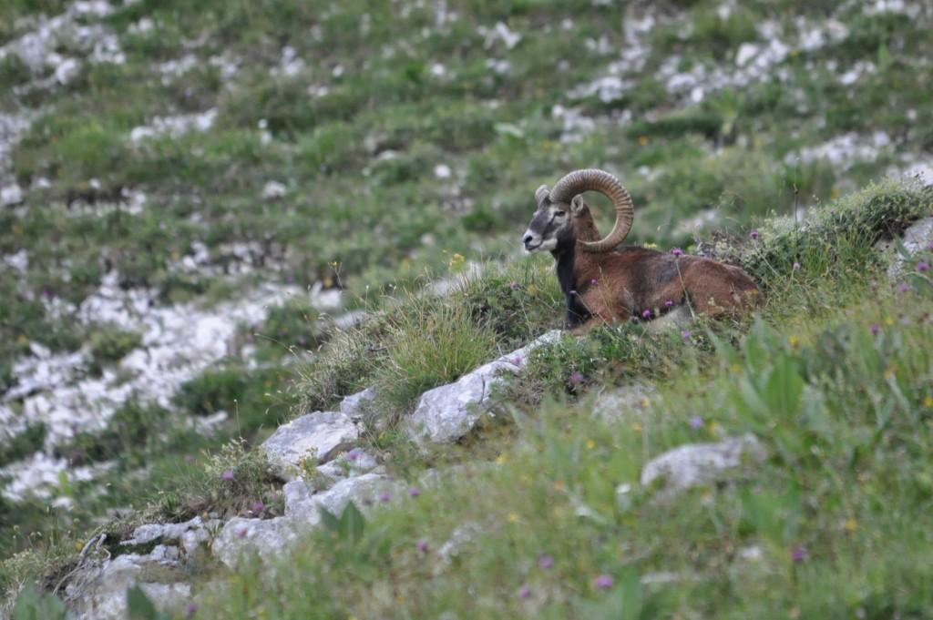 Mouflon de Chartreuse !!!