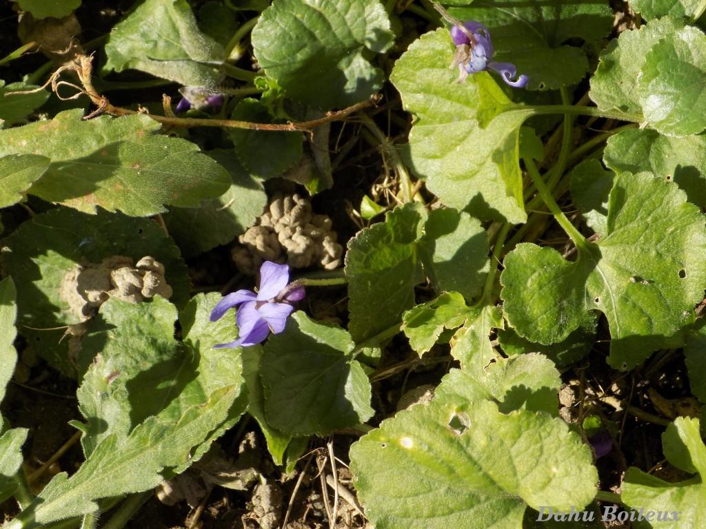 Premières violettes