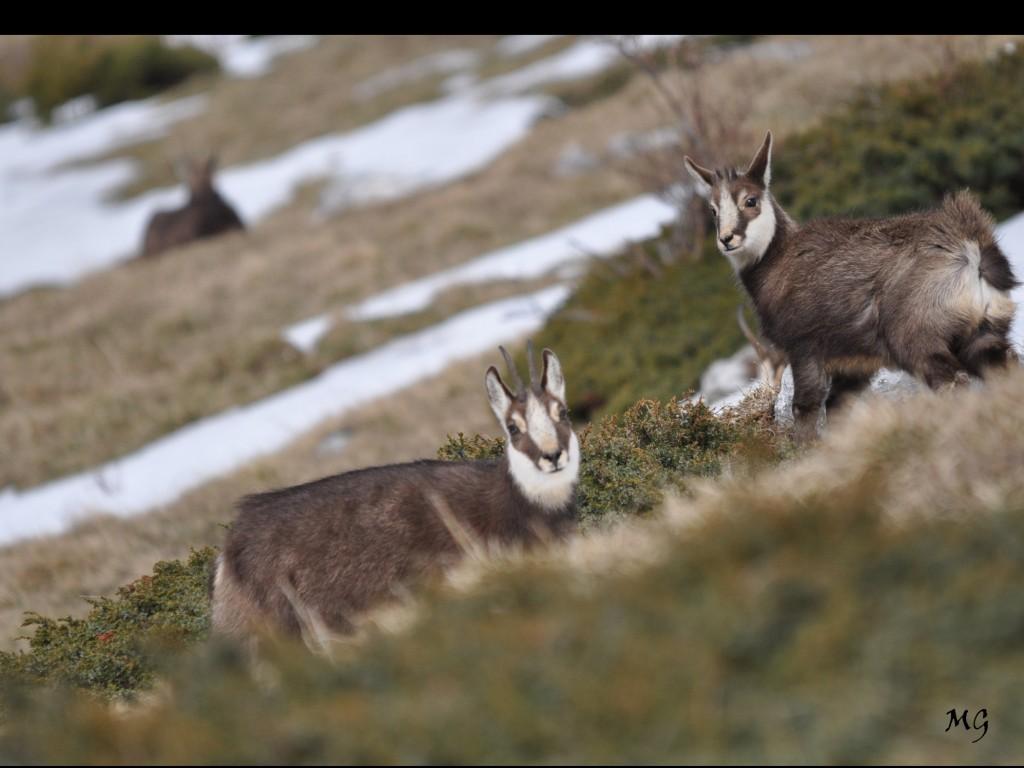 Rencontre avec les chamois du massif de la Chartreuse.