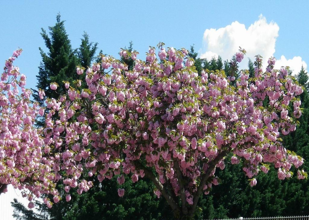 Abondante floraison des cerisiers du Japon