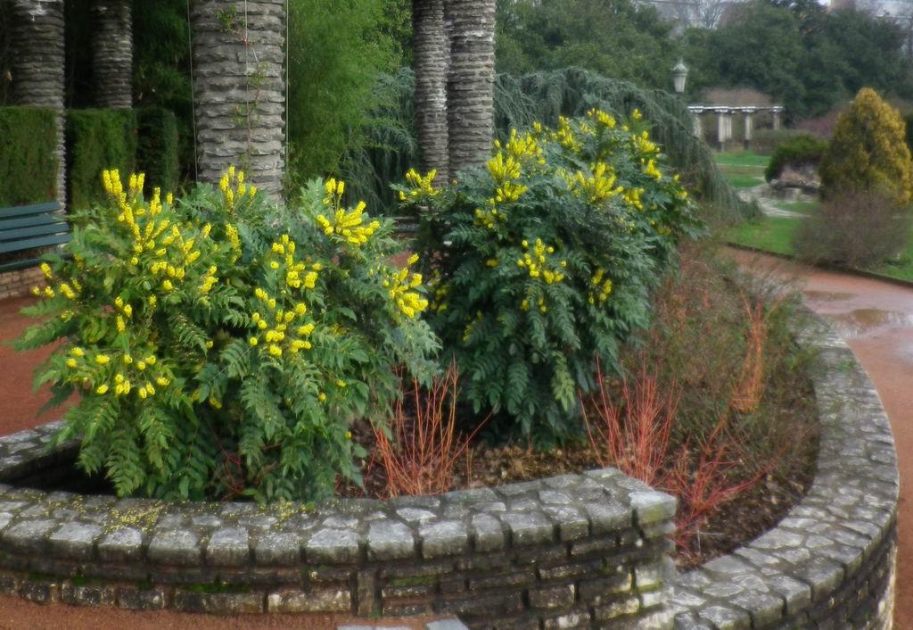 Floraison hivernale des mahonias