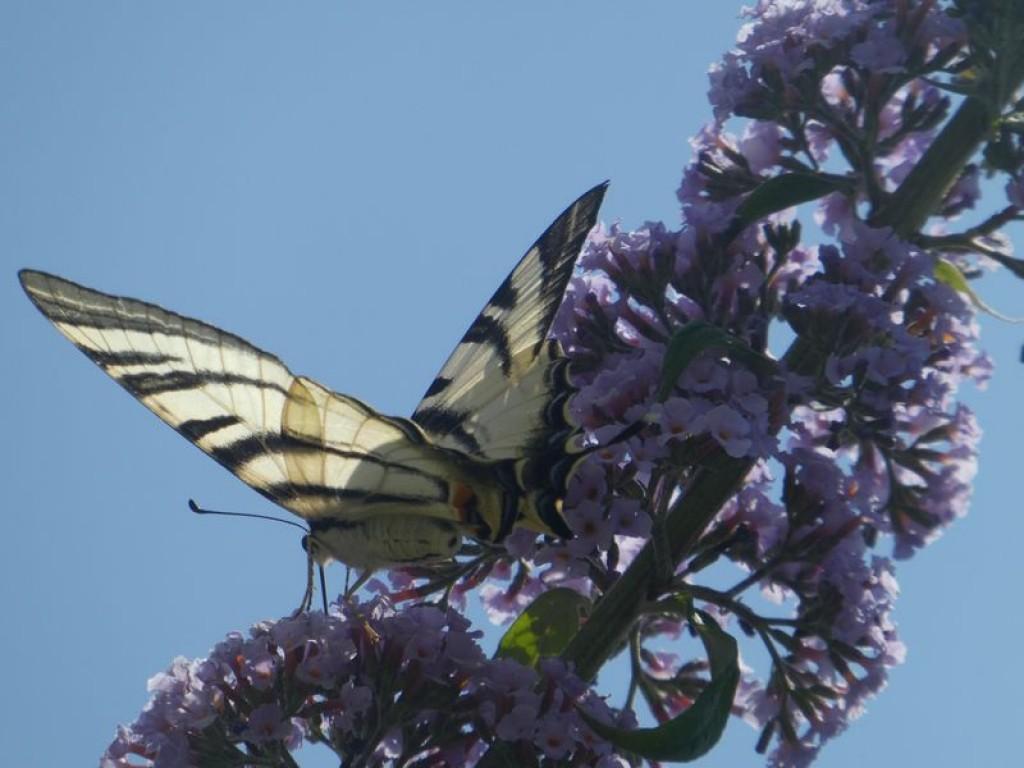 flambé sur arbre aux papillons
