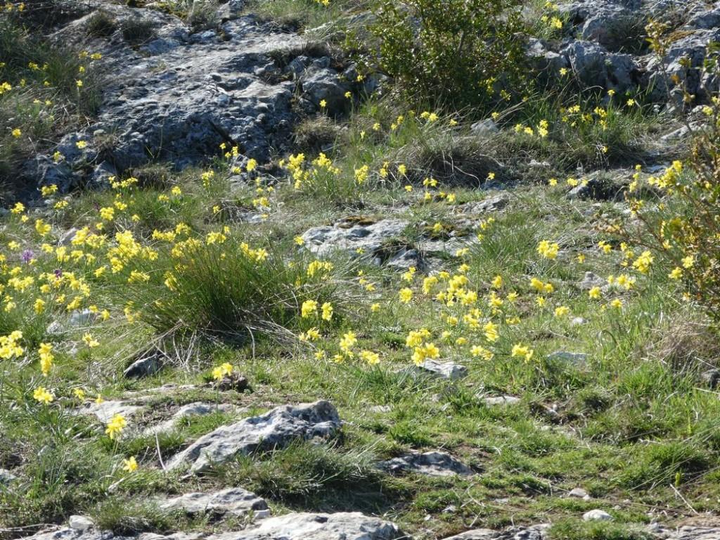 """floraison impressionnante de """"jonquilles"""" (narcisses de requiem)"""