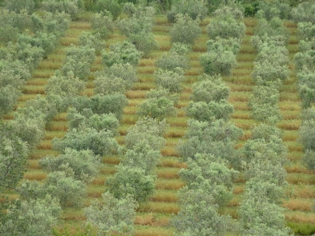 oliveraie alpilles