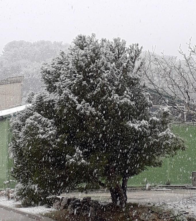 Pin sous la neige
