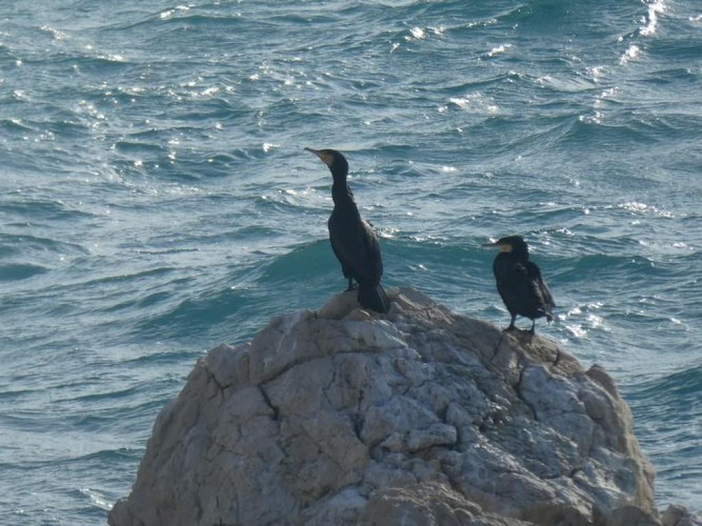 cormorans au bord de la mer agitée
