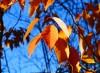 Gometz-la-Ville - feuillage de cerisier du Japon