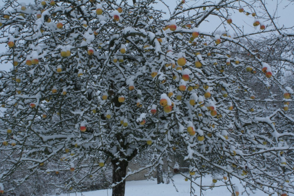 les pommes son fraîches