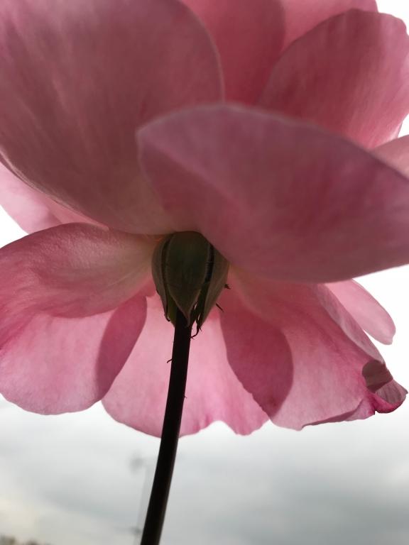 Maud, le rosier  montmartrois