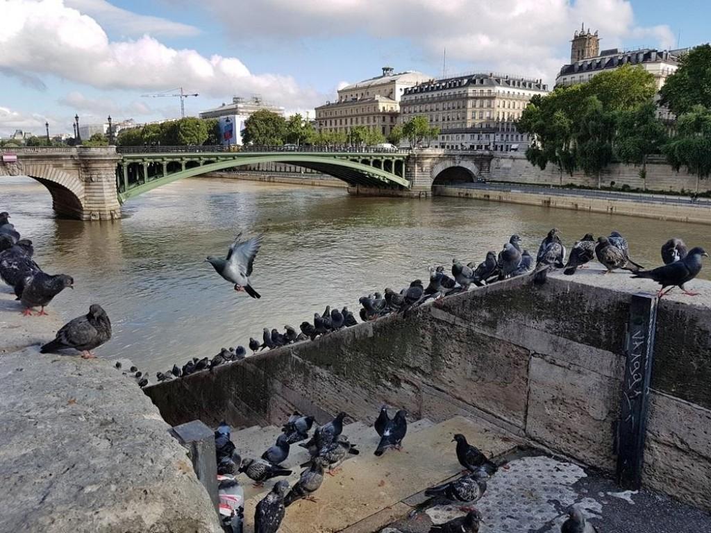 Pigeons quai de la Corse