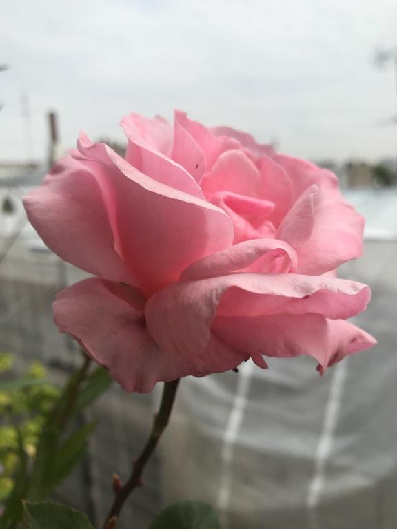 Douce rose parisienne, ambiance vaporeuse