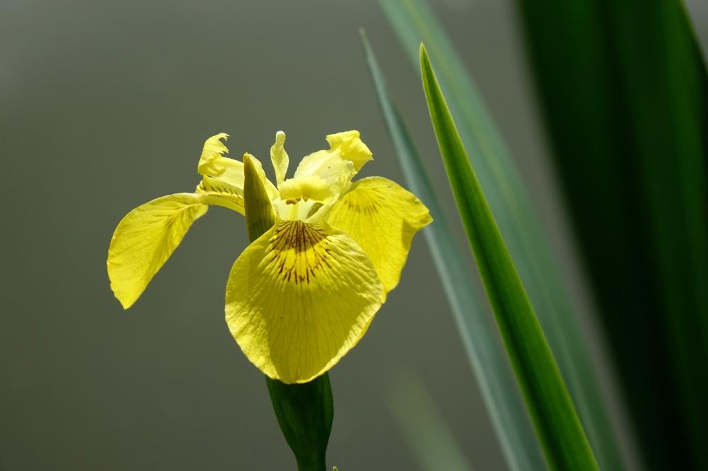 iris  d eau