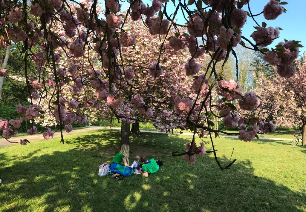 la vie en rose sous les cerisiers du Japon en fleurs