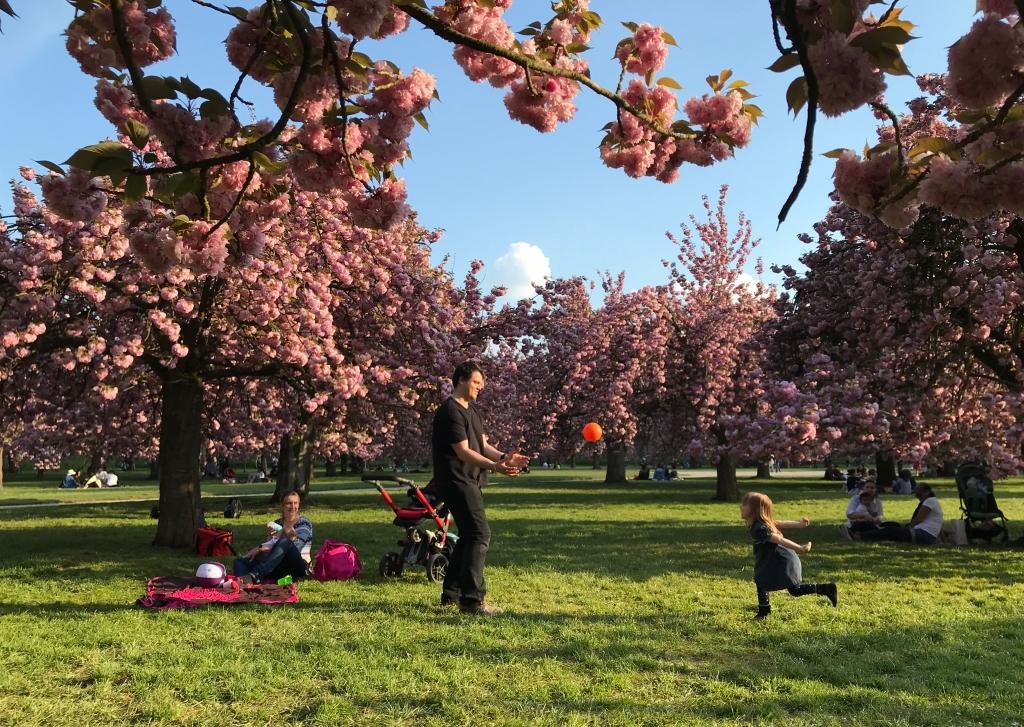 La vie heureuse sous les cerisiers roses, au soir