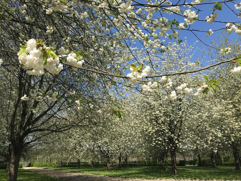 les cerisiers blancs commencent à défleurir