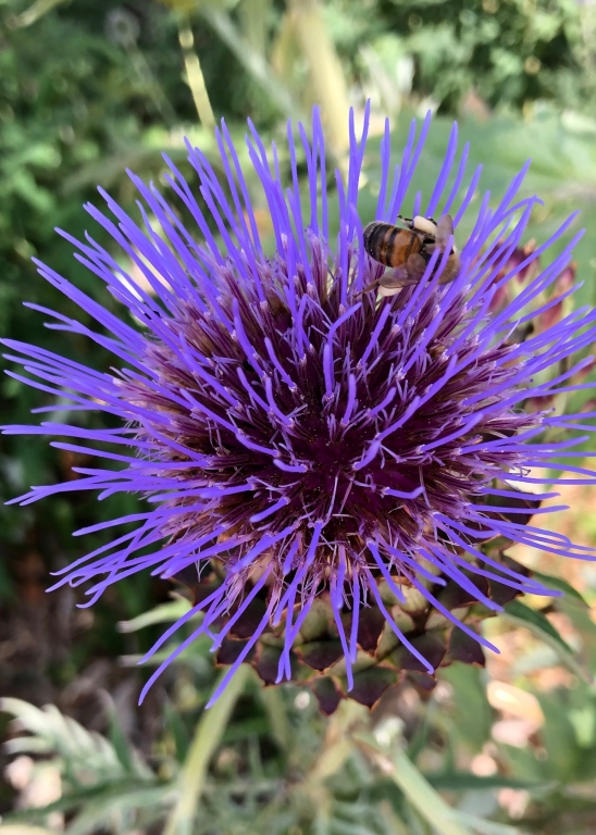 Abeille chargée de pollen sur une fleur d'artichaut
