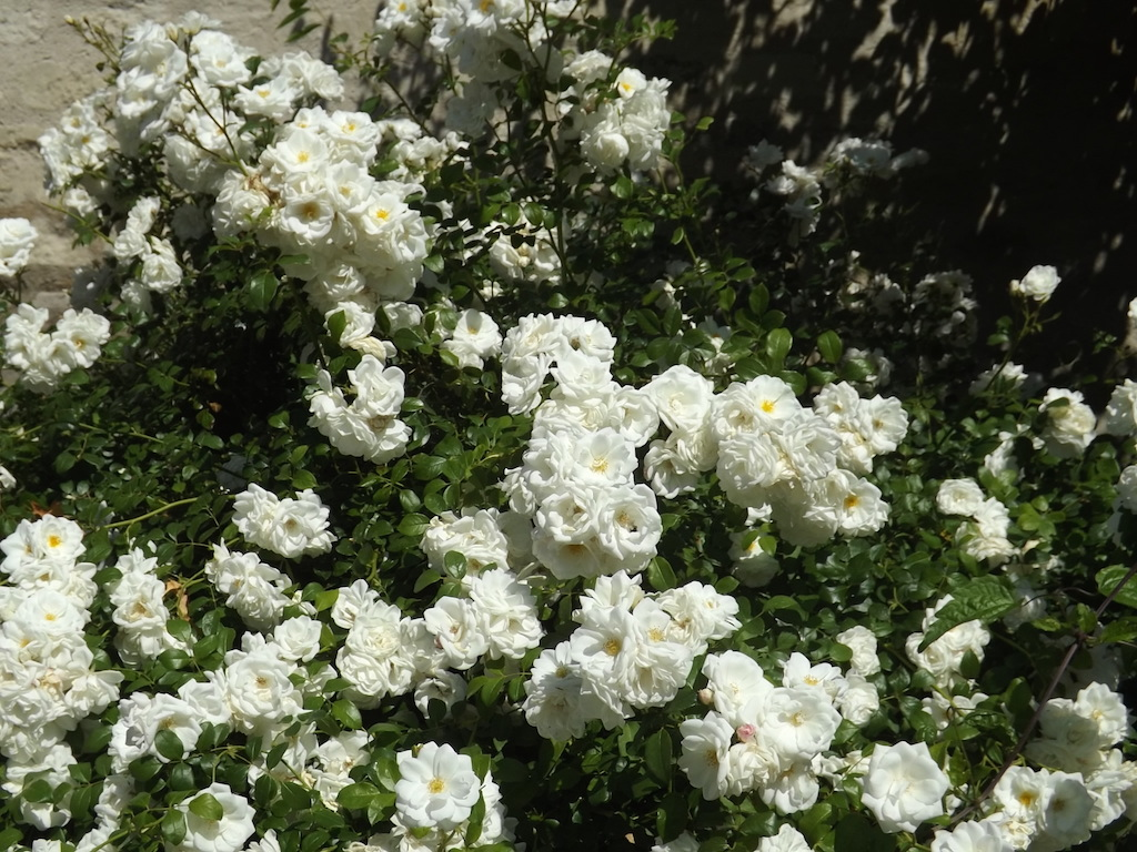 Des blanches roses