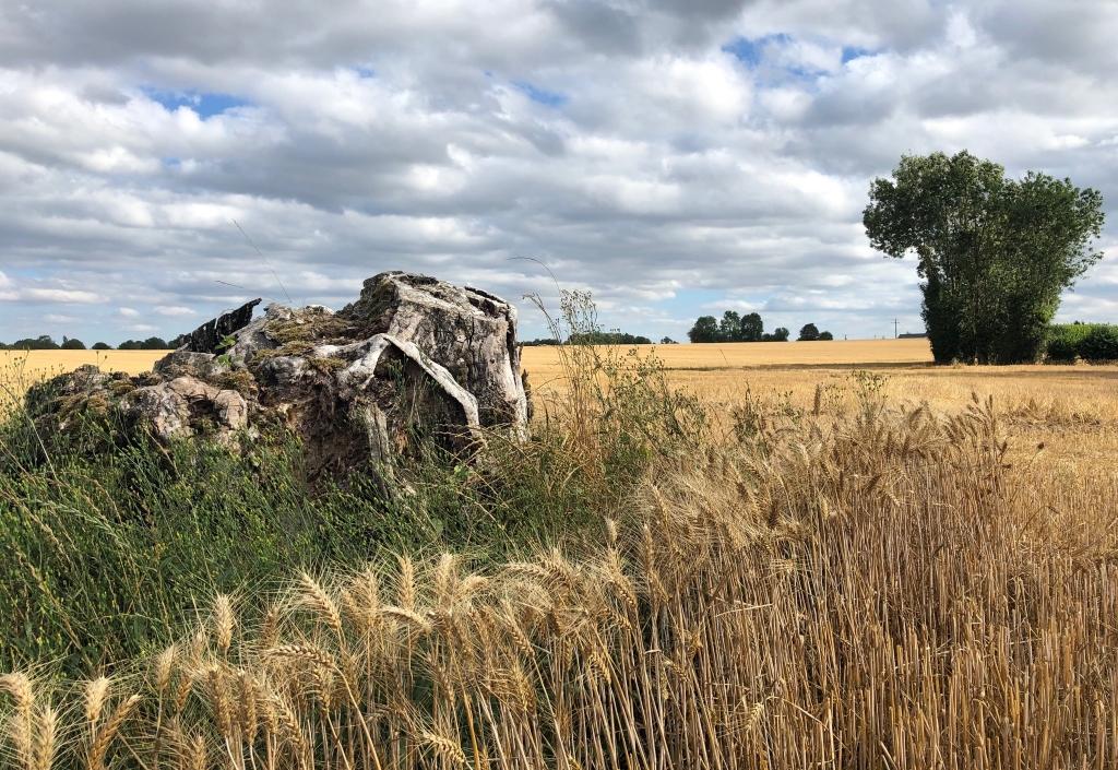 Épis de blé autour de la vieille souche