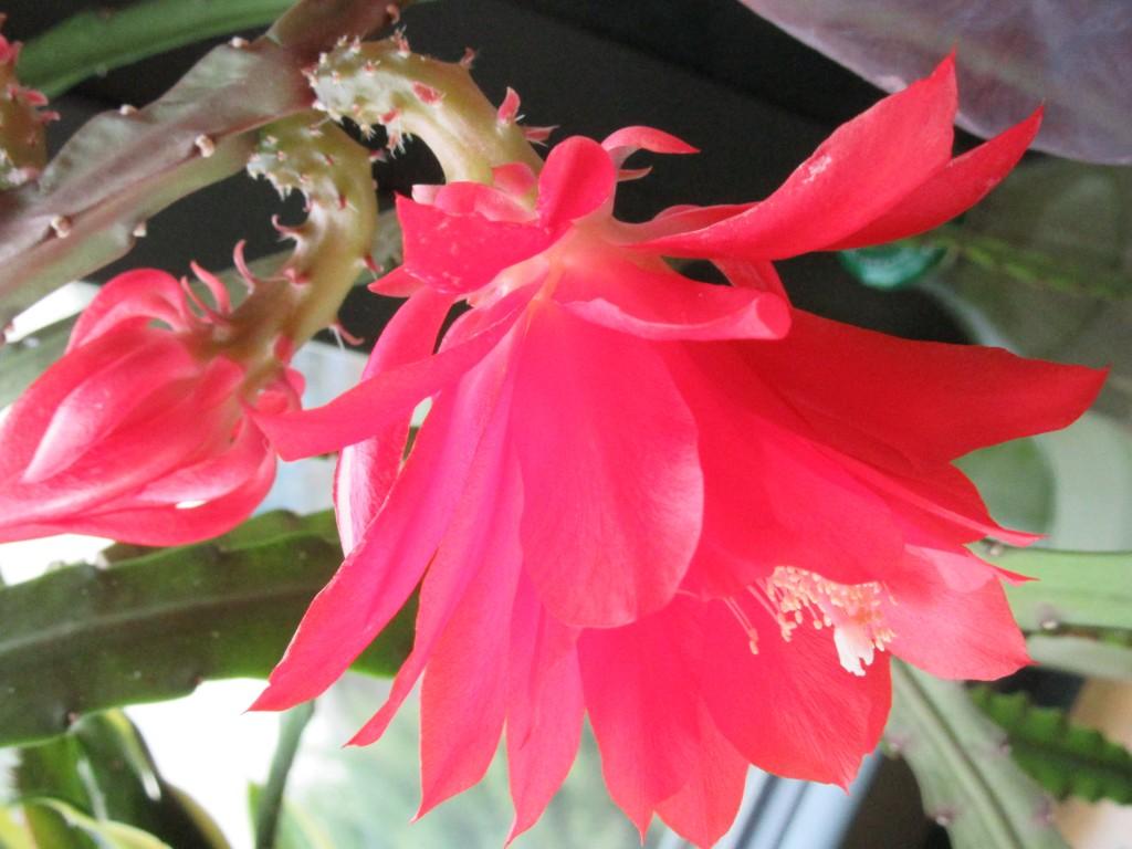 fleur de cactus pour un jour