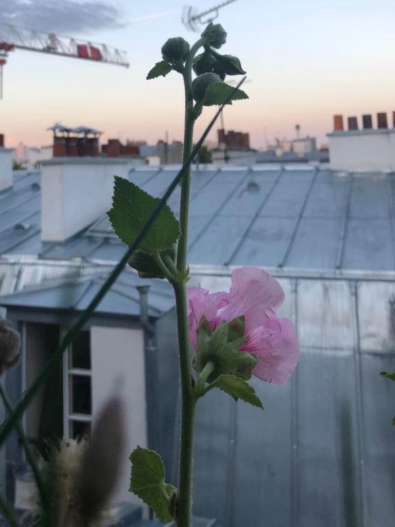 La rose trémière au crépuscule