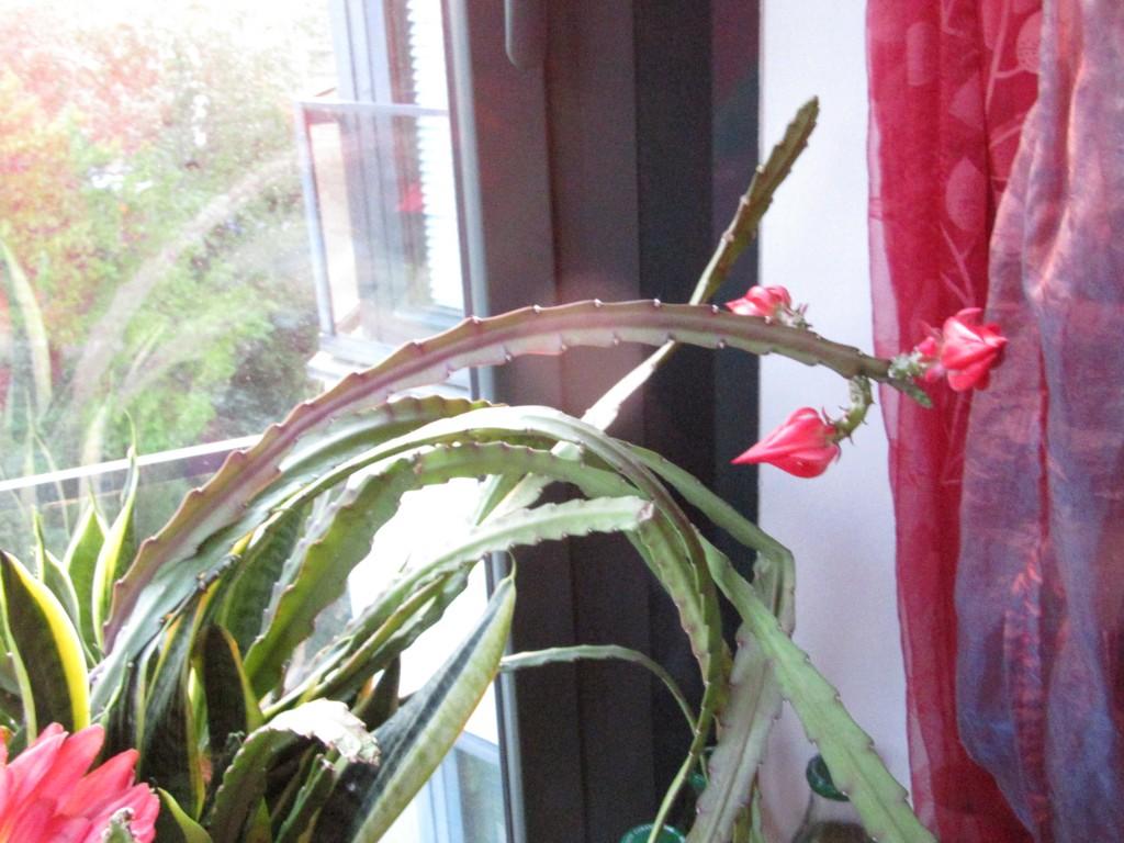 naissance d'une fleur de cactus