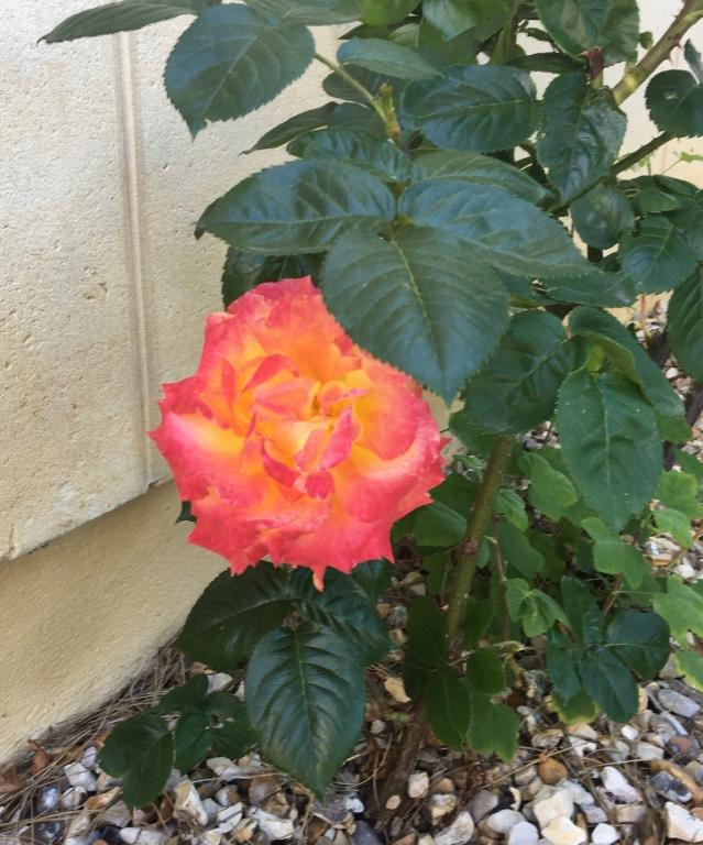 rose éclose r