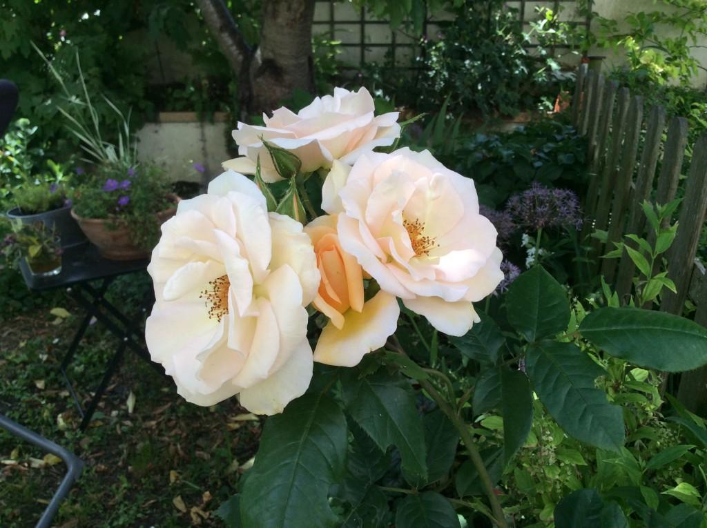 Rose orpheline