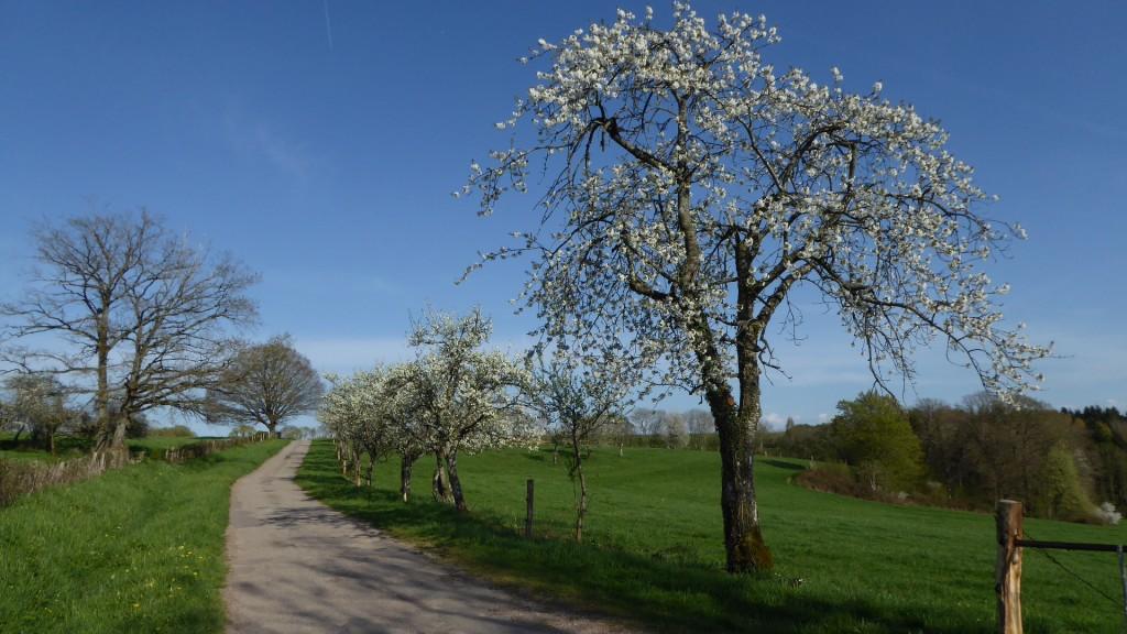 Cerisier et mirabelliers en fleurs